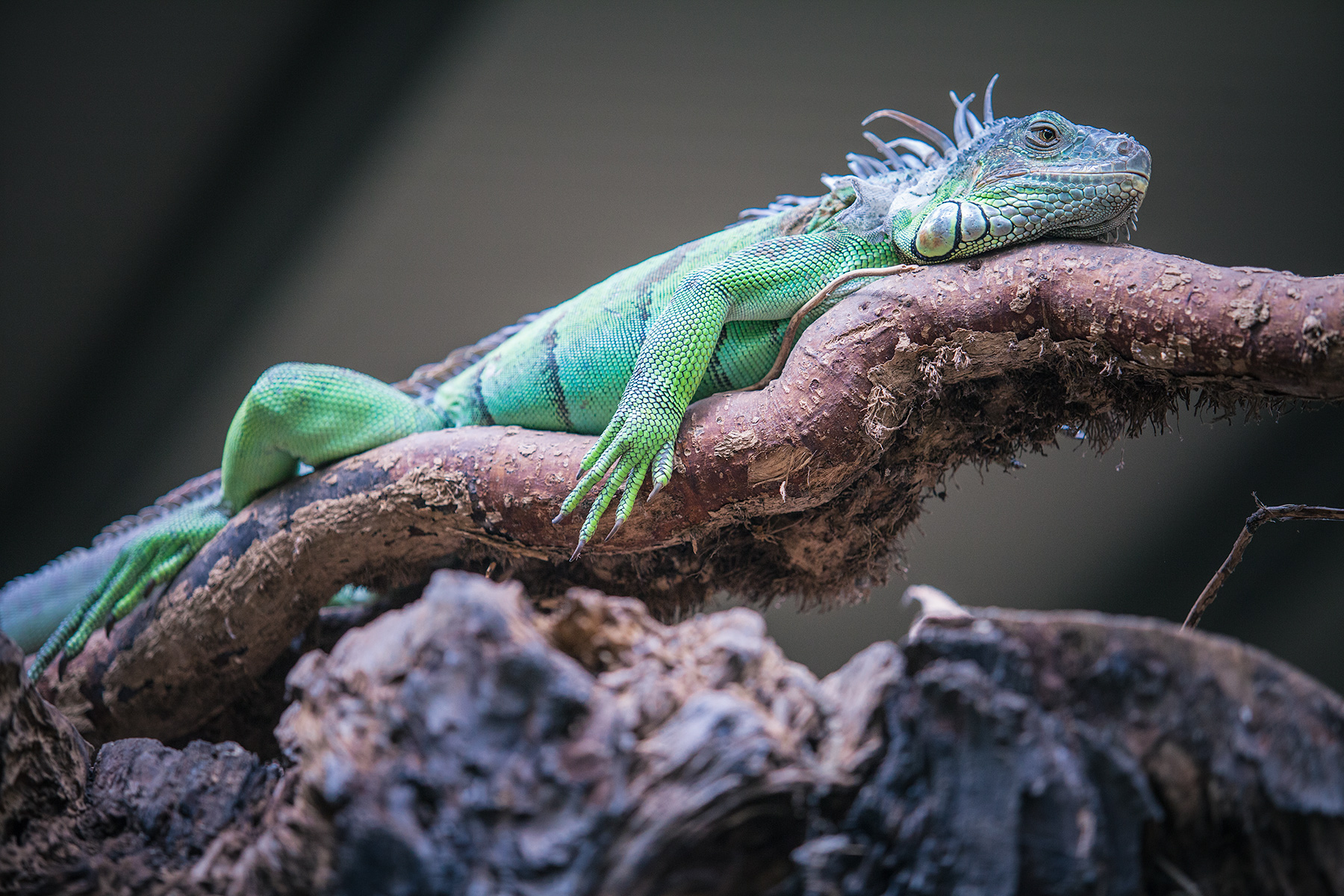 sad_iguana_fota_wildlife