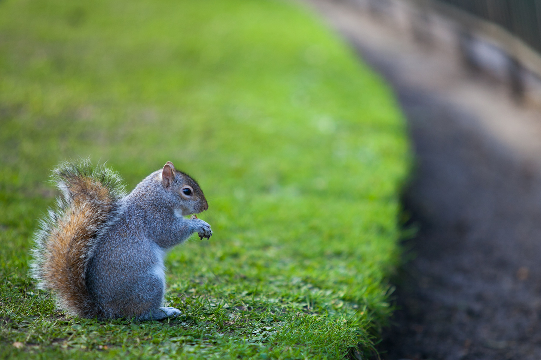 Squirrel in St. James's Park, London